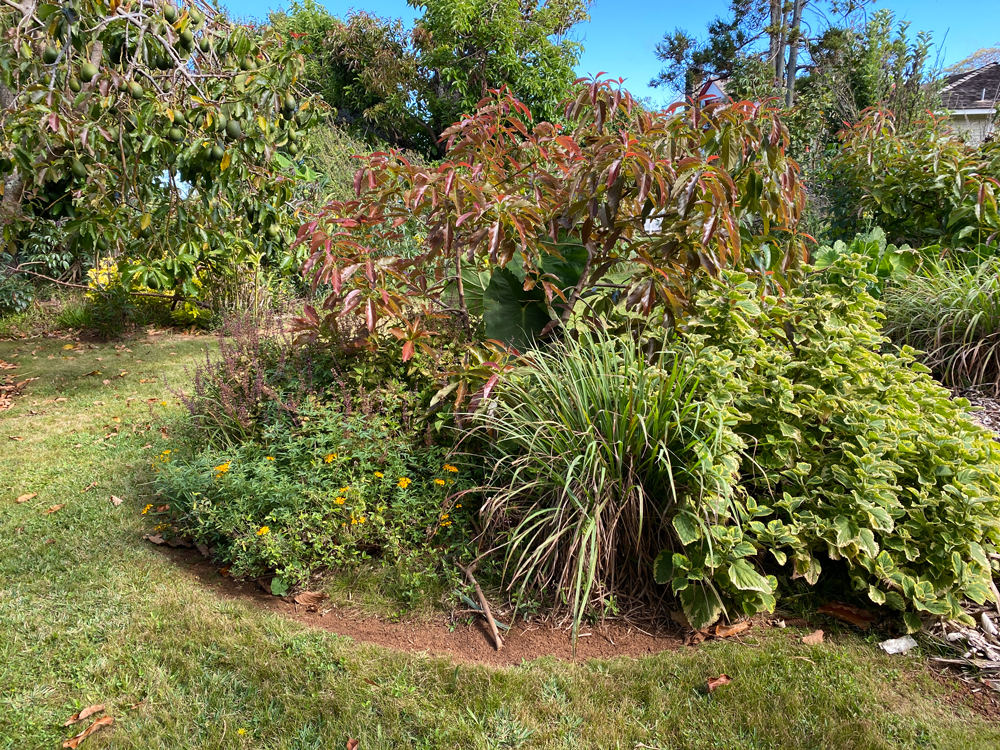 Avocado tree guild with Lemongrass, Taro, Coleus, Plectranthus and Marigold