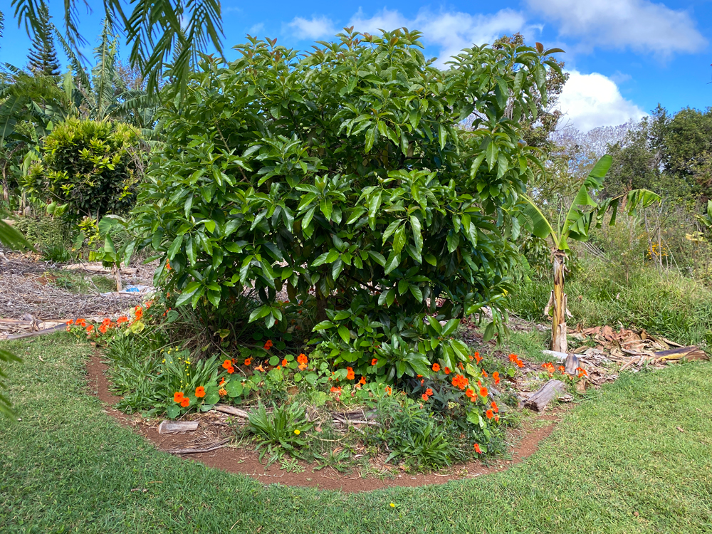Avocado tree guild with Lemongrass, Sweet potato, Nasturtium and banana