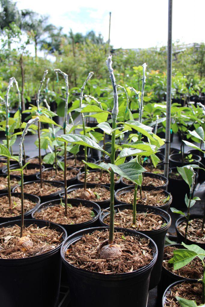 Grafted avocado trees at Natureworks Nursery on Maui